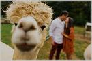 alpaca event.jpg