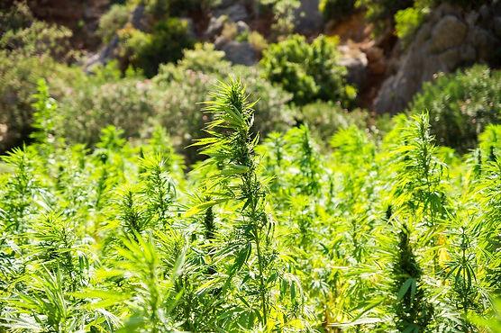 cannabis-2773112_1280.jpg