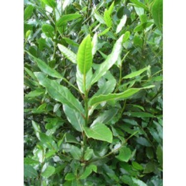 Herb Bay leaves