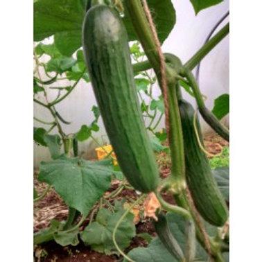 Cucumber Medium