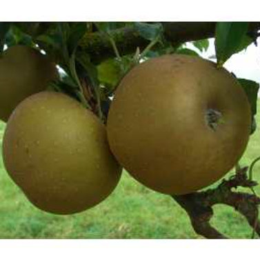 Apple Russet