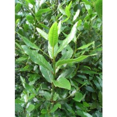 Herb Bay leaves