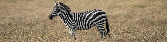 Pic 2021-02 Zebra 1.png