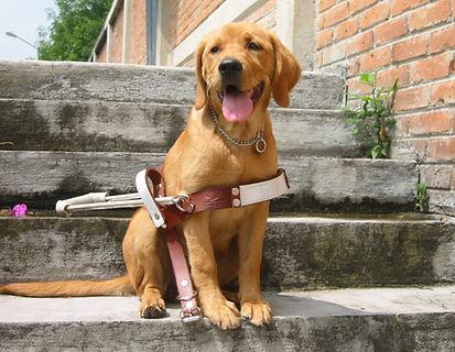 Cachorro labrador sentado, sonriendo mientras porta el arnés de perro guía