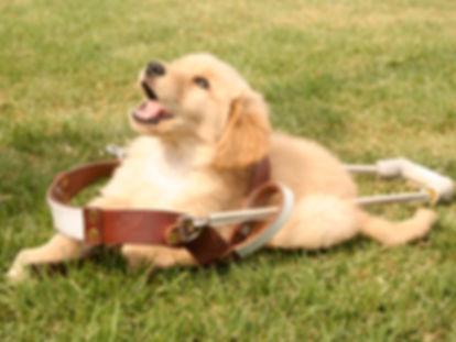 Cachorro golden con arnés de perro guía