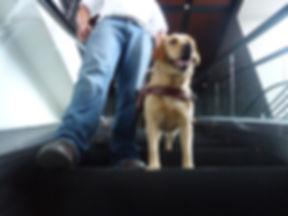 Perro labrador en entrenamiento bajando por escalera eléctrica