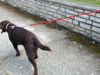 Il tire tout le temps ! mon chien tire en laisse – que faire ?