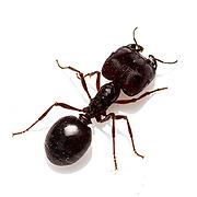 Big-Headed-Ant-circle (1).png