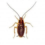 german-cockroach-1 (1)_edited.jpg