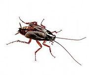 oriental-cockroach-1_edited.jpg