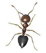 acrobat-ants.jpg