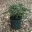 Thumbnail: Pot Grown Living Christmas Tree - Non-Drop Nordmann Fir 9l pot