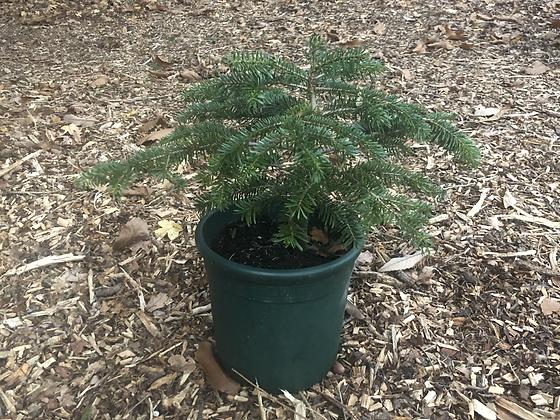 Grow Your Own Christmas Tree - Nordmann Fir