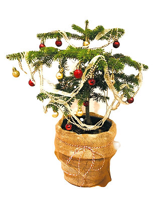 Decorated Potted Nordmann Fir Christmas Tree