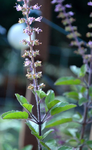 Tulsi / Holy Basil: Lore & Lure Of A Sacred Plant