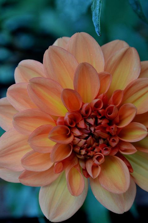 Facebook - Dahlia, late in the season so the colors are fading.jpg