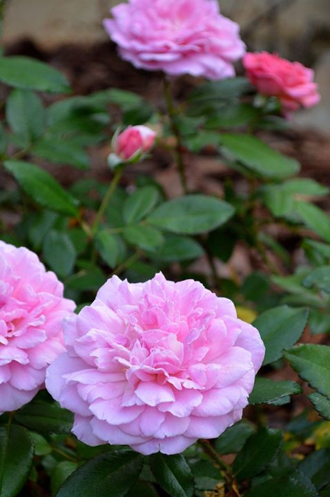 Facebook - Orchid Romance Rose.jpg