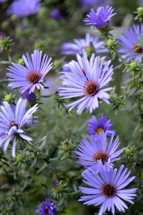Facebook - Purple Aster.jpg