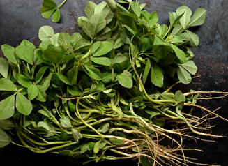 Winter Spice: Fenugreek