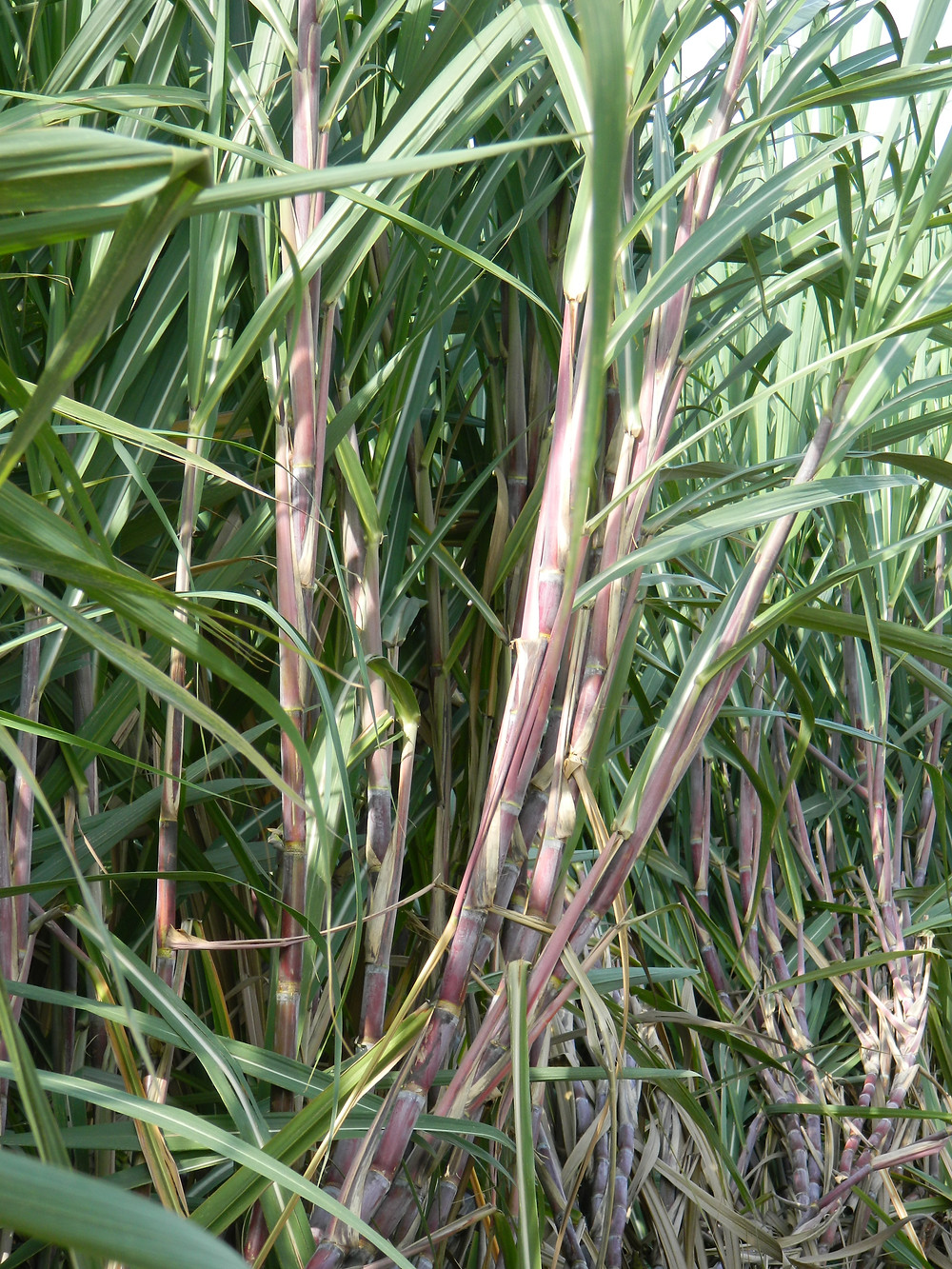 Close-up of the sugarcane crop
