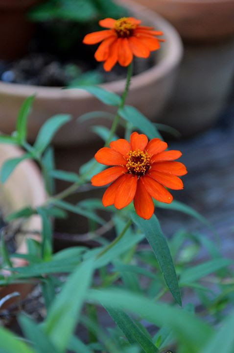 Facebook - Zinnia, quite literally spilling out of a large pot.jpg