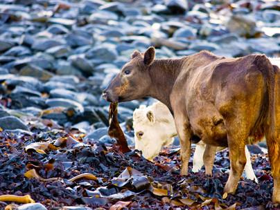 1pic-of-cow-eating-kelp.jpg