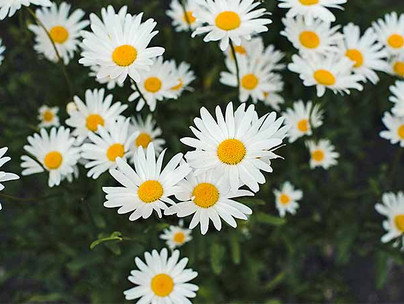 Cozy-Up-with-Chamomile-Growing-and-Harve