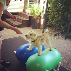Loving this fit Lakeland Terrier!