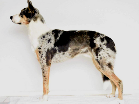 The Koolie - Understanding conformation in a breed without a breed standard
