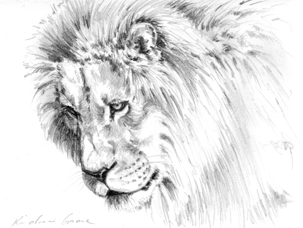 Intent Gaze, lion (SOLD)