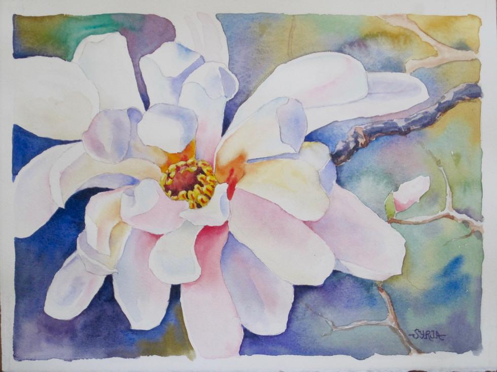 """Star Magnolia / Watercolour / 11"""" x 15"""" / $450"""
