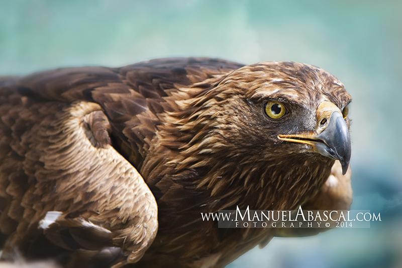 Águila_Real.jpg