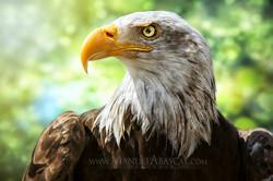 Águila_de_cabeza_blanca_bokeh.jpg