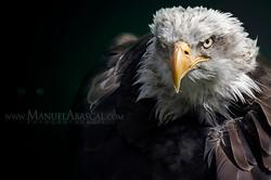 Águila_de_cabeza_blanca.jpg