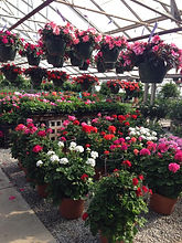 Beautifully grow hanging baskets grown in The Tulip Company's glass greenhouse