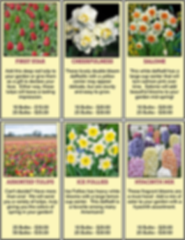Tulip, daffodils, and hyacinth bulb varieties