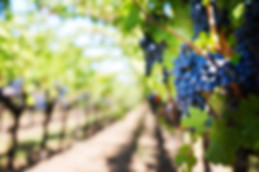 We Drive Napa Valley Wine Grapes
