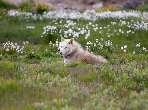 husky relax on grass from greenland, Si