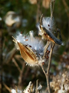Common Milkweed Bronwyn Moody.JPG