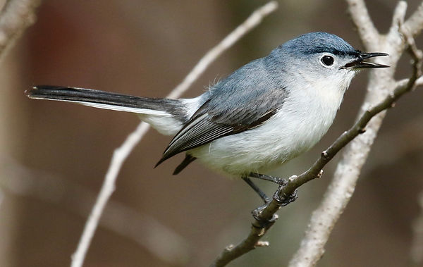 Blue-gray Gnatcatcher2 JH Skevington.jpg