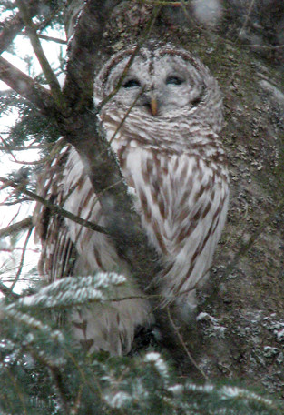 Barred_Owl.jpg
