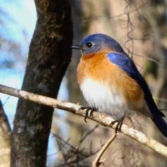 Eastern Bluebird Richard Skevington.jpeg