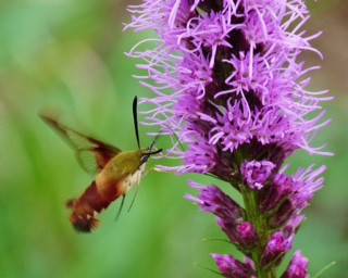 Hummingbird Clearwing Bronwyn Moody.JPG