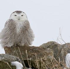 Snowy Owl2 JH Skevington.jpg