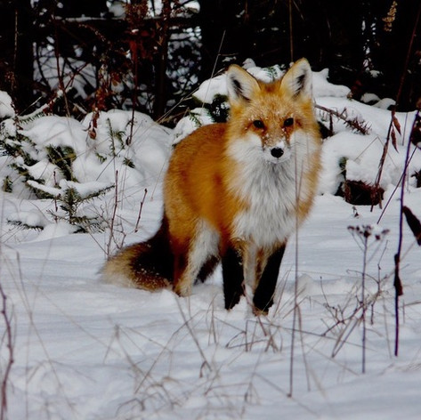 Red Fox Richard Skevington.jpeg