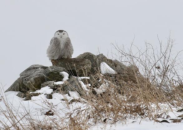 Snowy Owl JH Skevington.jpg