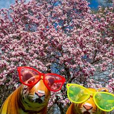Tiger Spring