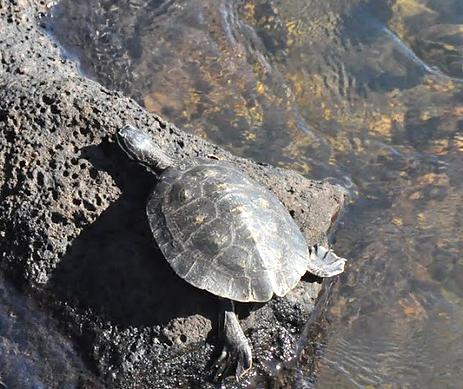 OWF Native Turtle and Amphibian study