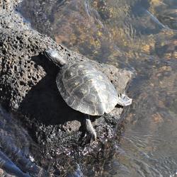 Tartaruga del laghetto