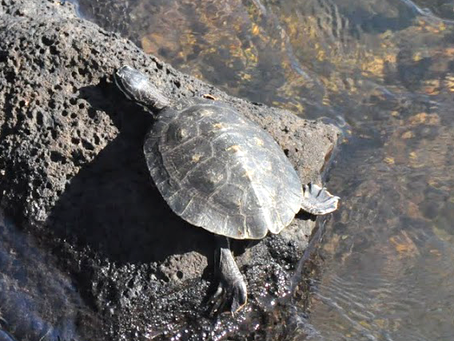 What If Turtles Breathed from Their Butts?